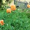 急速に増えている危険外来植物「ナガミヒナゲシ」とは!?