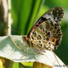 日本 散歩道の蝶