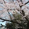 境内の桜が見頃を迎えています