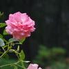 相模原北公園のバラとか