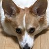 【We ♡ コーギー】大切なペットのお世話を代わりにしてくれるペットシッターサービス