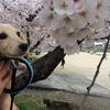 【わんことおでかけ】モカと桜(livedoorからのお引越し日記)