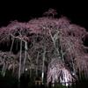 日本三大桜の三春滝桜(国指定天然記念物)~ライトアップされた姿を鑑賞してきました