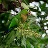 ベリーズ 自宅周辺の Olive-throated Parakeet(オリーブスローティッド パラキート)