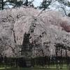 上賀茂神社の桜と高野川沿いの桜