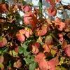 ブラックベリーの紅葉 2013