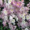 食用菊の開花状況