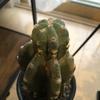《柱サボテン》鬼面角の成長記録!ゆーっくりと伸びてきてます。