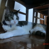 梅雨寒おネコさま。