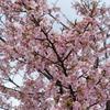 河津桜咲きました(示野中町編)