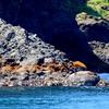 落石漁港・ユルリ・モユルリ島付近の海鳥ウトウとケイマフリ