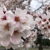 和田堀公園陸上競技場〜桜が満開〜