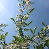 エゴノキの白い花と。