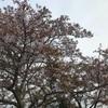 職場の桜が