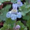 我が家の敷地内に、バルタン星人に似ている  雑草があります。その雑草の名は 『 ツタバウンラン(蔦葉海蘭)』