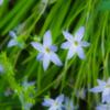 日陰に咲いた青い花 夏来る前に日陰に散りて