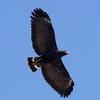 大空の芸術品 Common Black-Hawk (コモン ブラックホーク)