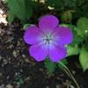 この時期まで咲いているゲラニウム、ロザンネは良い品種ですねえ
