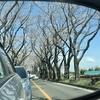瀬谷区 海軍道路の桜並木