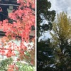 生きた化石イチョウ:日本へはその名前と共にやってきました.伝来の時期は13世紀〜14世紀と推定できるとのこと.そして日本からヨーロッパへ.またしても名前と共に(銀杏→ginkgo). 数多くの巨木が示すとおり日本ではすぐに人気に.ただその分類は植物学者を悩ませ続けているようです.さすが生きた化石. イチョウ(2)
