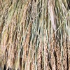 稲の苗の作り方①