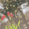 早咲きチューリップ 『ふなばしアンデルセン公園 チューリップまつり』