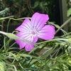 """春から初夏の花4 アグロステンマ(ムギセンノウ) 今年初めて咲きました.例年より1週間は早いように思います.どんな花か知らずに育てて初めて咲いた時には息をのみました.ヨーロッパでは雑草扱いだったとのことですが,花言葉は""""gentility(高雅)"""".美しさは認められていたに違いありません.ムギナデシコという名前もある通り,系統樹上,ナデシコとかなり近い所に位置していますが,センノウ属はより近縁."""