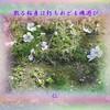 『 相見ての至福を念う冬薔薇 』筑紫風575交心zsm2003