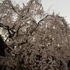 桜の京都・枝垂れ桜の競宴