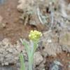 寒い中で花を咲かせるハハコグサは七草の1種