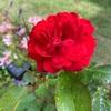 【バラ1年目】スカーレットボニカ・ジャルダン ドゥ フランス【開花状況】