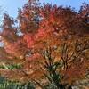 浜町公園の紅葉が鮮やかなので行ってみた。陽の当たり方で表情が違ってよい。(中央区日本橋浜町)