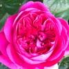5/4 バラセミナーに行きました!ジェームズLオースチン開花