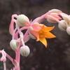 エケベリア・ティッピーの開花、グラプトペタルム・マーガレットレッピンの復活、増殖中です。