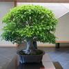 大樹の貫禄、貴重盆栽「花梨」