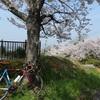 平成最後の桜ライド