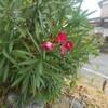 美しいけど猛毒のキョウチクトウ科の植物たち:鬼の花
