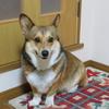 初めまして、コーギー犬「カリー」です。
