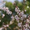 神戸須磨離宮公園。十月桜。