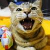 3月の前半 #ねこ #cat #猫 どらやきちゃんA