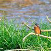 今日の黒目川の鳥