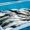 2021年5月17日 小浜漁港 お魚情報