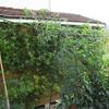 大玉トマト収穫開始