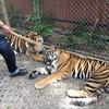 本物の虎!プーケット タイガーキングダムを紹介!
