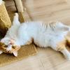 【猫学】短足マンチカンを迎える前に知っておいてほしい8つの注意点