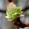 春の雨 木々の花芽