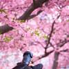 三浦海岸の河津桜 その1