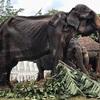 スリランカのお祭りに駆り出された70歳のやせ細ったゾウ アジア諸国で今でも続く虐待行為