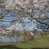 2018.03.31 母子島遊水池の桜
