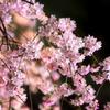 夜桜といえば六義園。ライトアップで輝く日本庭園としだれ桜を見てきました。
